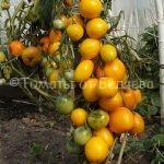 Приобрести семена элитных помидор