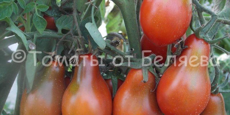 помидоры Беляева