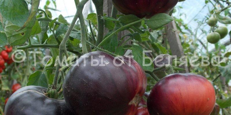 Северные томаты. Беляева
