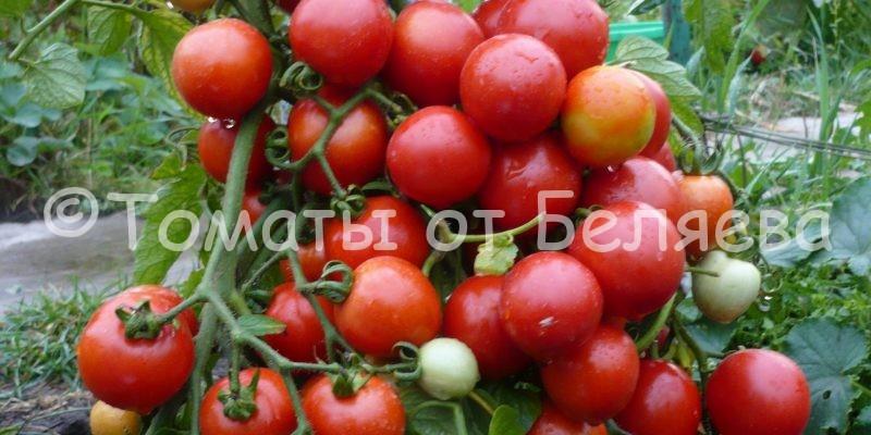Как вырастить томаты от Беляева
