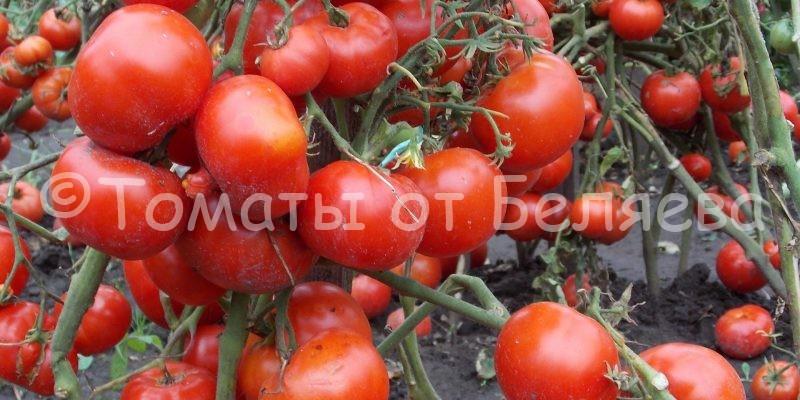Ранние томаты Беляева