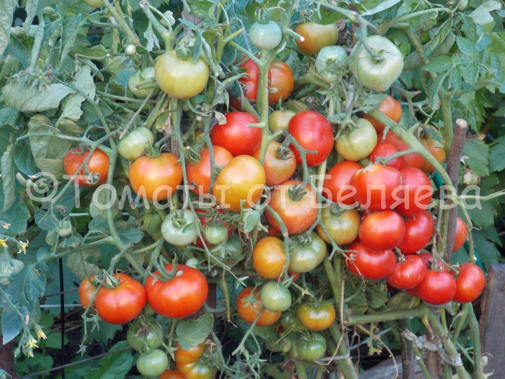 Северные томаты 2