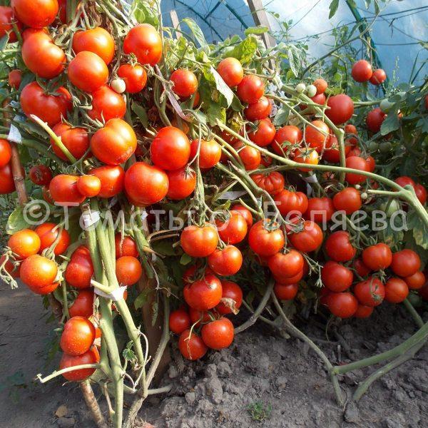 Низкорослые сорта томатов Беляева