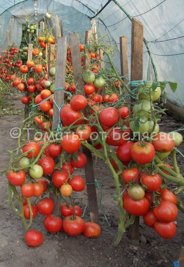 Северные томаты 1