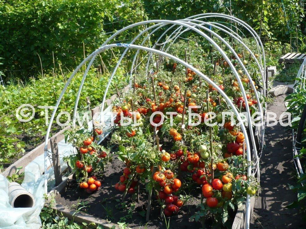 Урожайные томаты 2
