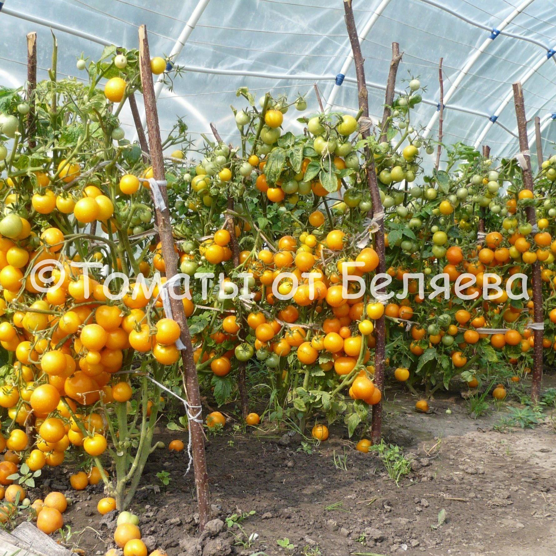 Урожайные томаты Беляева