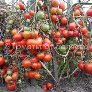 Томат Андрошек Семена томатов от частных коллекционеров