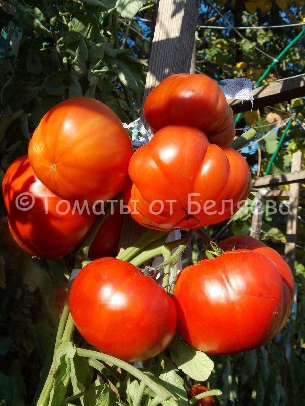 Томат Австралийское сердце Семена томатов от частных коллекционеров