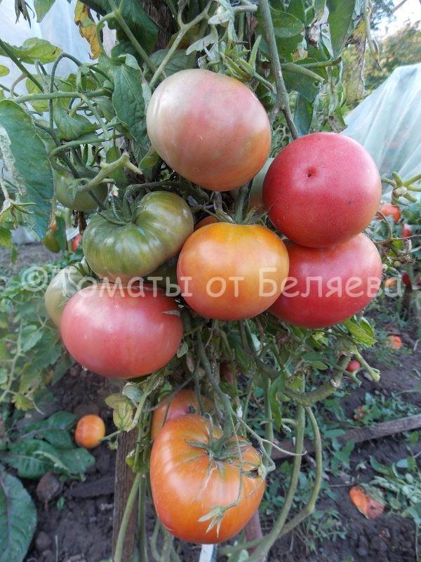 Томат Белый налив улучшенный семена купить
