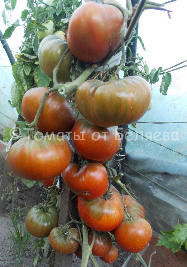 Томат Блек Джон Семена томатов от частных коллекционеров