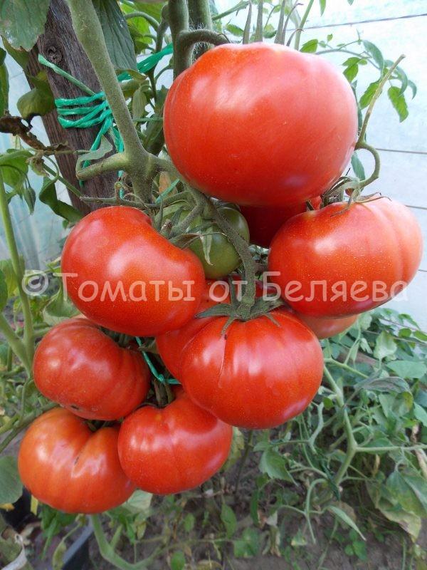 Семена томата Болгарское чудо купить