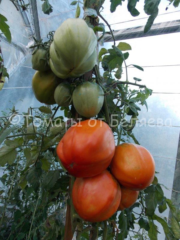 Семена томатов Большая девка купить