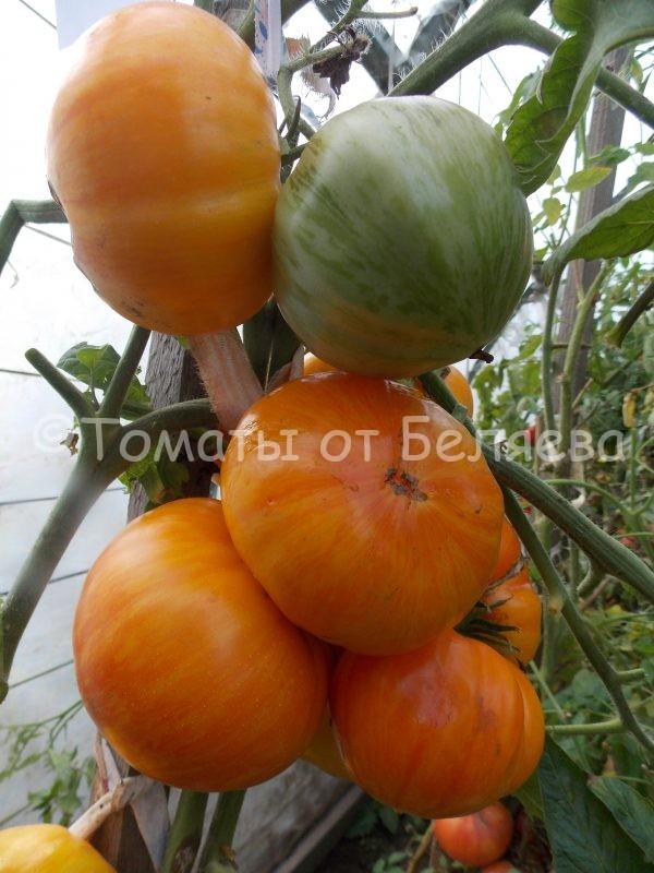 Семена томатов Большой оранжево-полосатый
