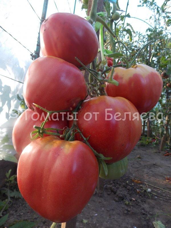 Семена томатов Бычье гигант купить