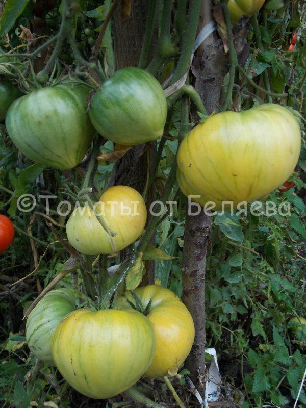 Семена томатов Бычье сердце белое купить