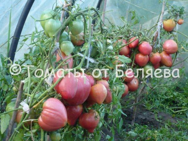 Томат Бычье сердце раннее семена купить