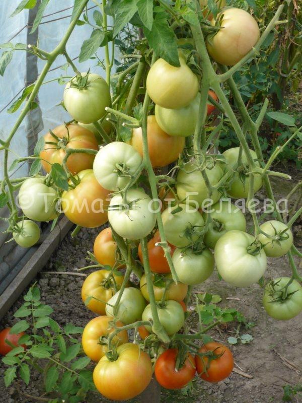 Семена томатов от частных коллекционеровТомат Даниэлла