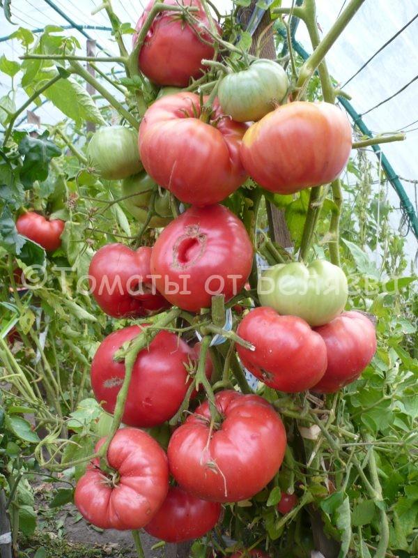 Семена томатов от частных коллекционеровТомат Девятисотграммовый