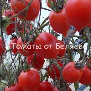 Семена томатов Герань кис купить