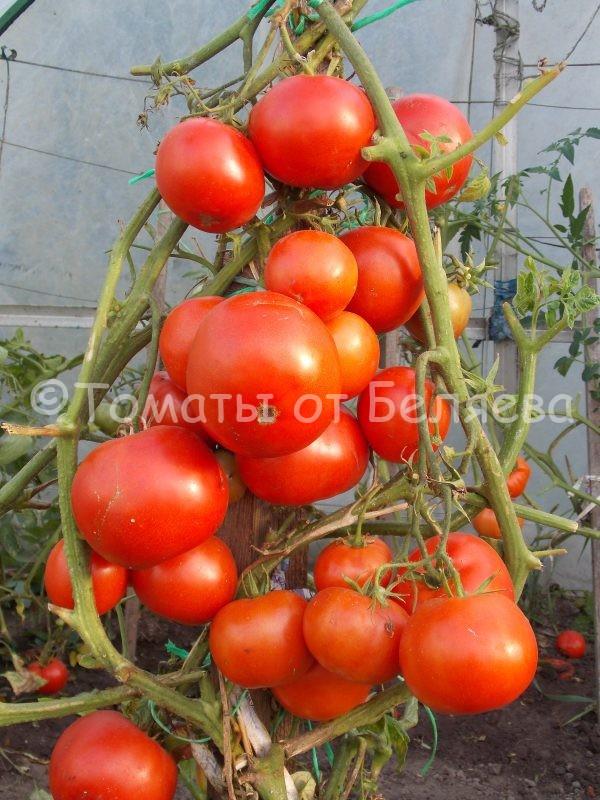 Семена томатов от частных коллекционеров Томат Голиаф