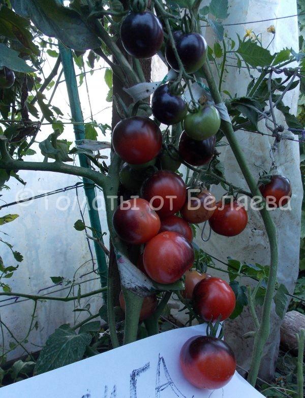 Семена томатов от частных коллекционеров Томат Индиго роуз
