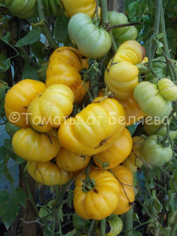 Семена томатов от частных коллекционеров Томат Измаильский ребристый