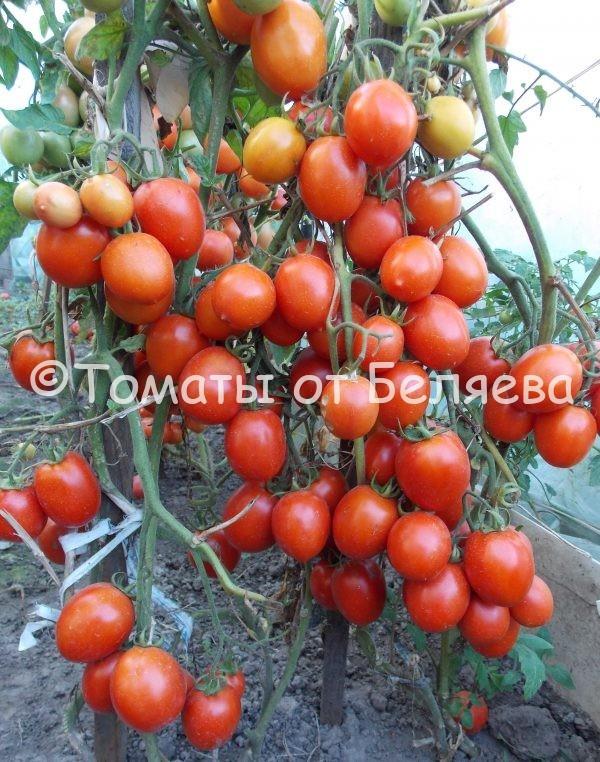 Томат Кечменти-594 семена купить