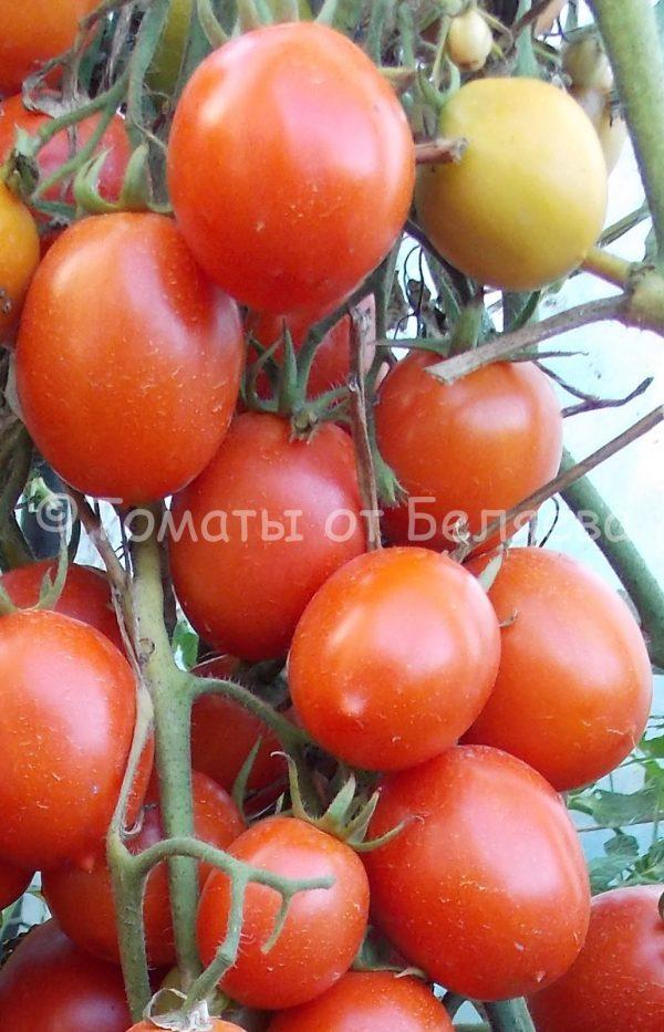 Семена томатов от частных коллекционеров Кечменти юбилейные