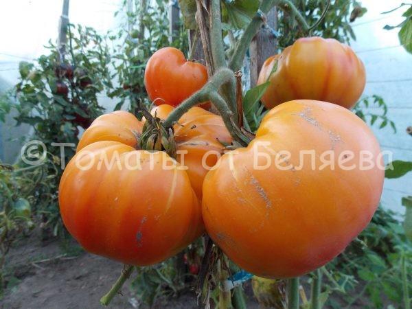 Семена томатов от частных коллекционеров Томат Конфеты Западной Вирджинии