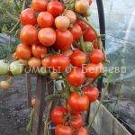 Красный плотный. вкусные сорта томатов