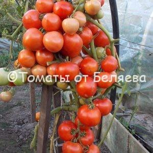 Томат Красный плотный семена купить