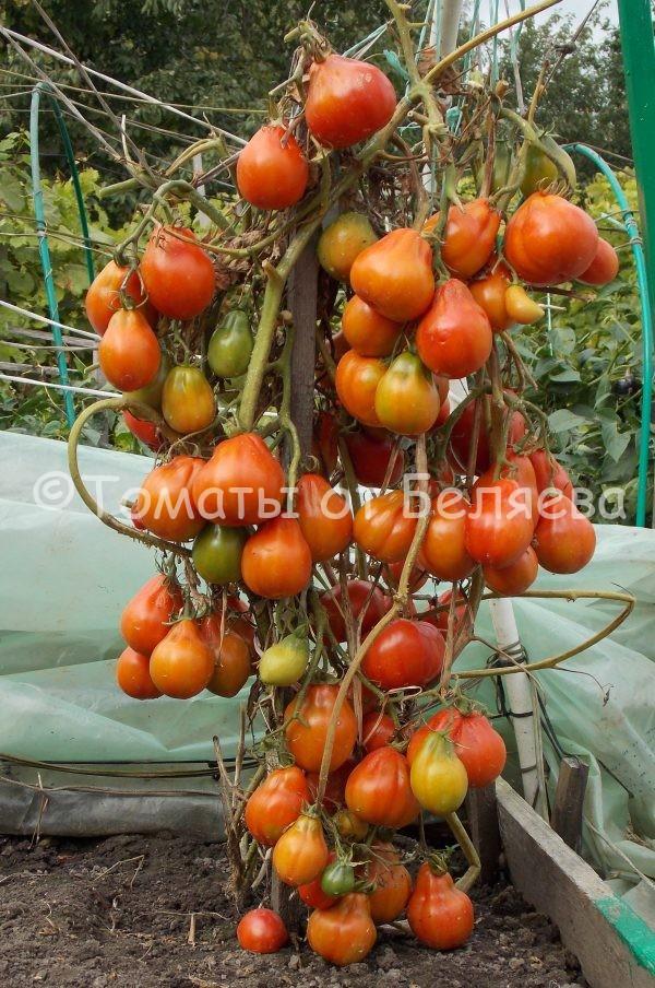 Томат Красный урожай семена купить