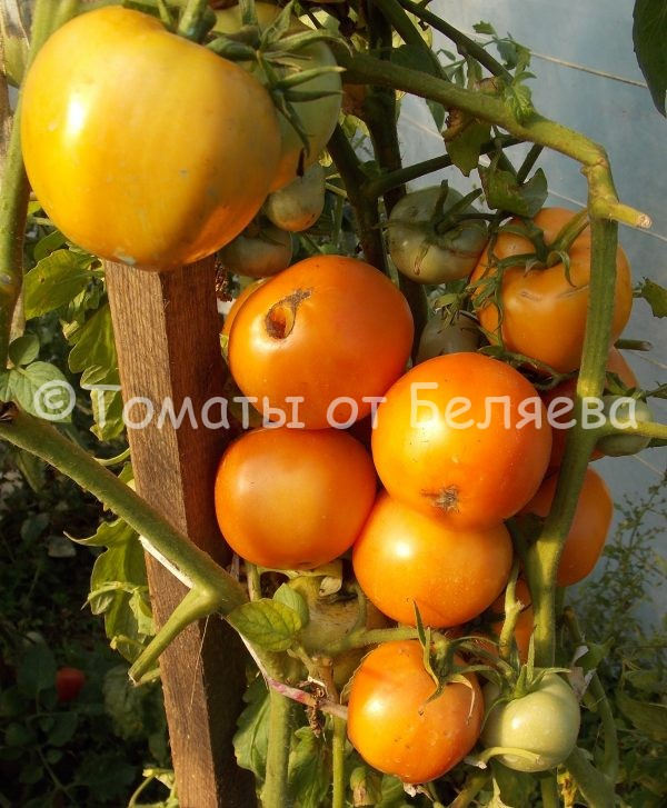 Семена томатов от частных коллекционеров Томат Кубинский сладкий