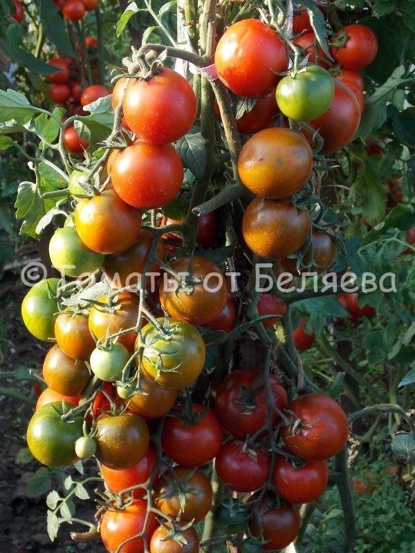 Семена томатов от частных коллекционеров Томат Кумато