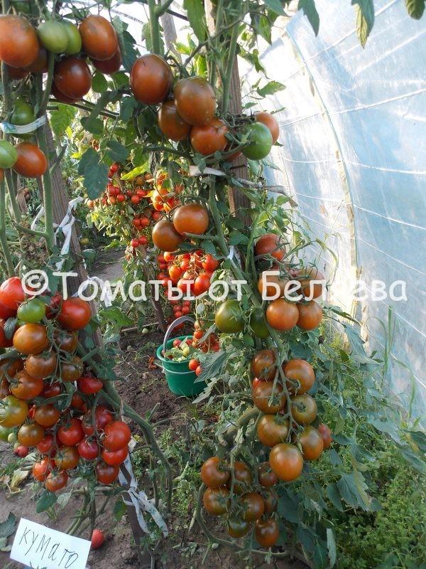 Семена томатов от частных коллекционеров Кумато с Томат Кумато с Галапагосских островов