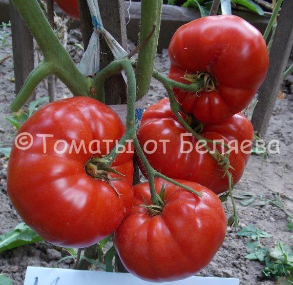 Семена томатов от частных коллекционеров Томат Мамина любовь
