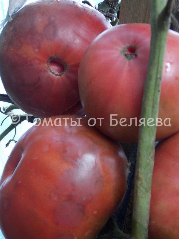 Семена томатов от частных коллекционеров