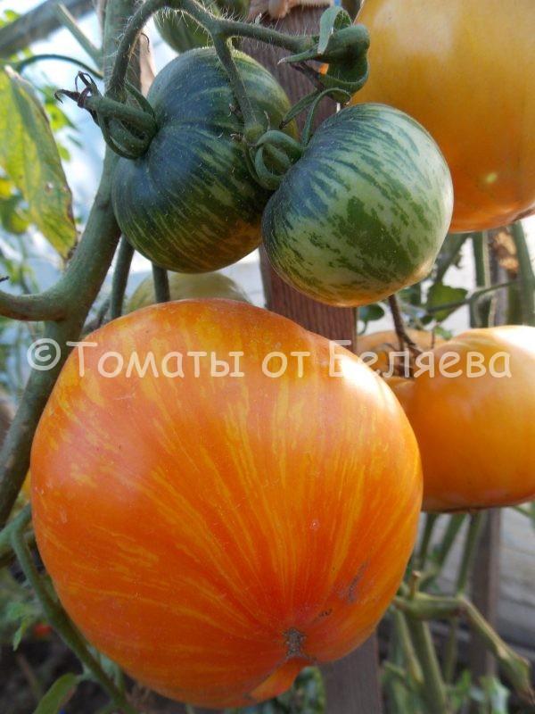 Семена томатов от частных коллекционеров Томат Матросик