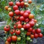 Беляев Брянск томаты