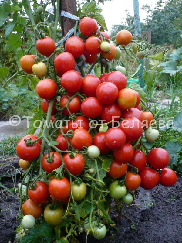 Томат Многоурожайный Т.Д семена купить