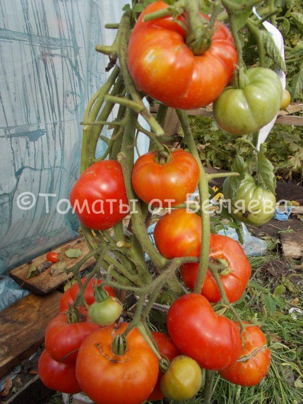 Томат Марманде Семена томатов от частных коллекционеров