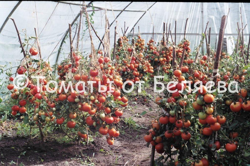 Урожайные томаты 1