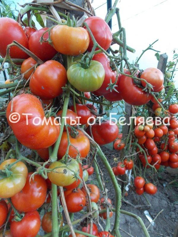 Томат Отбор 94 семена купить