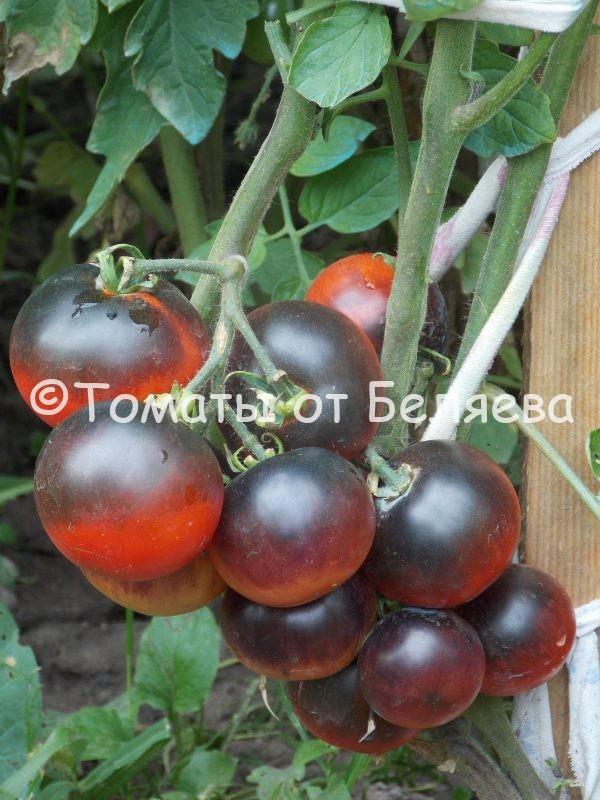 Семена томатов от частных коллекционеровТомат Сиреневый закат R-20