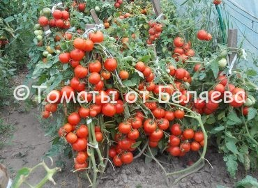 высокоурожайный томат