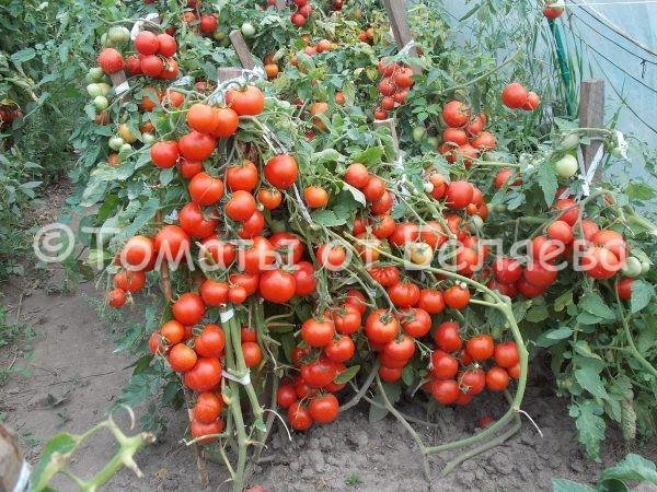 Томат Ранний кистевой семена купить