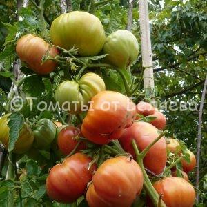 Семена томатов ВАСХНИЛ купить