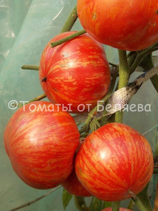 Семена томатов Винтед вайн купить