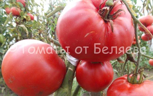 Семена томатов Восточная пышка купить
