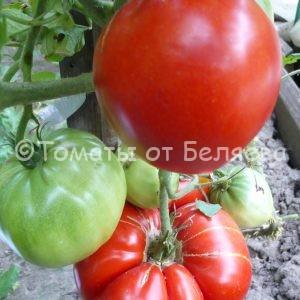 Семена томатов Вова Путин купить